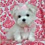 vand bichon maltese mini toy alb imaculat